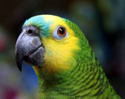 Amazon parrot like the one I used to have. Her name was Kelly and she was the inspiration for my childrens book.