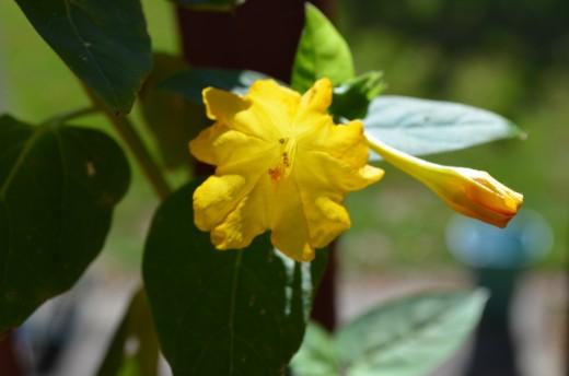 Photo 4 - Yellow Flour o' clock flowers.