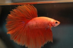 Tropical fish - Better Betta Splendens - the Siamese Fighting Fish comes in many colours