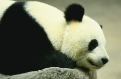 The Panda looked soft enough to pet.