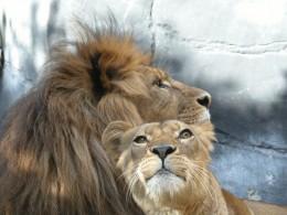 He saw Lions.