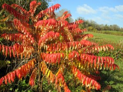 Rhus Typhinia 'Tiger Eyes'