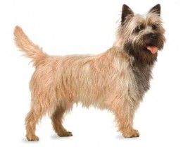 The Cairn Terrier.