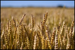 Wheat Allergy Symptoms and Reactions
