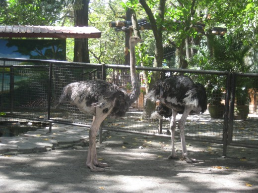 Couple of Ostrich - the largest bird at the zoo