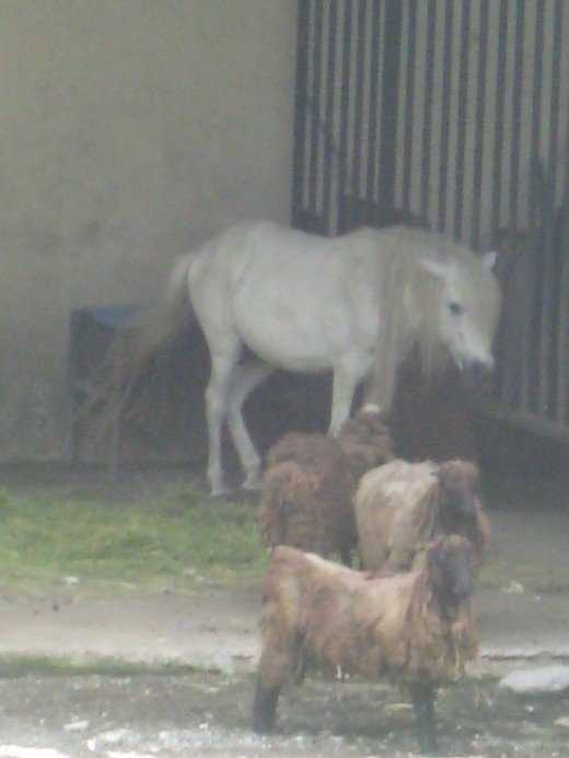 White pony and some sheeps