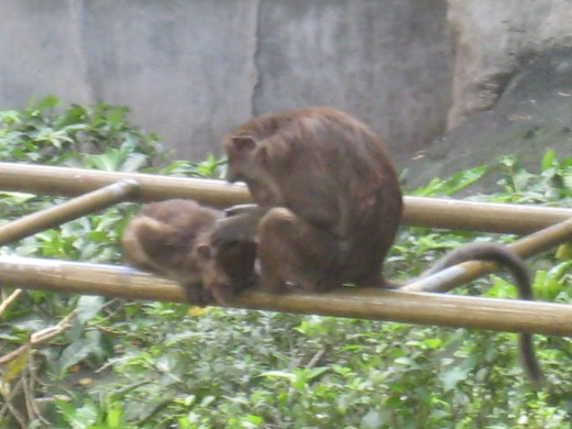A Mother's Love - Mother monkey removing lice from her baby
