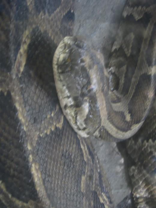 Non-poisonous snake (Sawa)