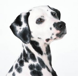 The Dalmation.