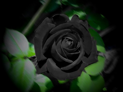 Black petals hiding thorns