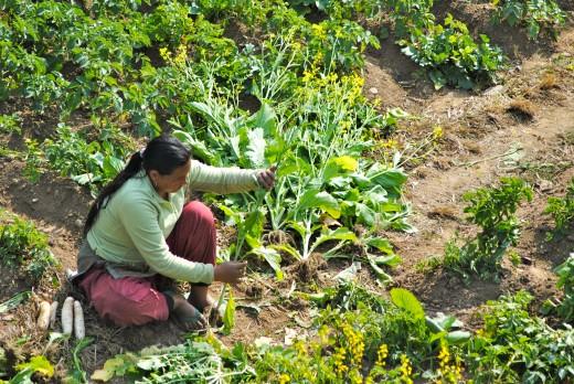 Nepali woman tending her garden.