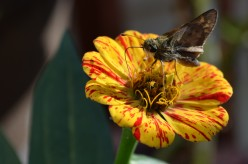 Moths and Skippers Using Their Proboscis to Get Nectar - A Photo Gallery