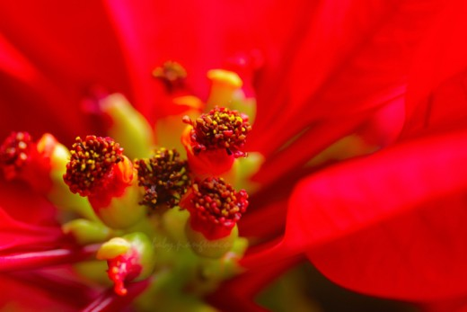Poinsettia or Christmas flower
