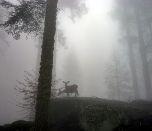 Deer in the mist - Sequoia National Park