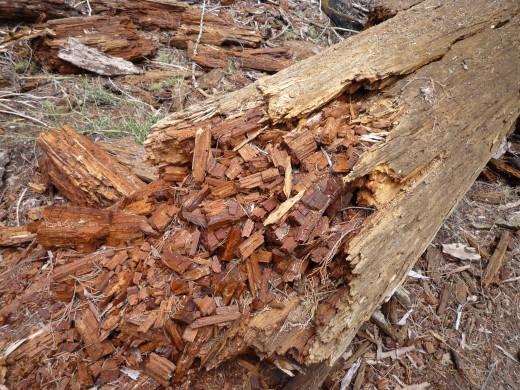 Decaying sequoia tree
