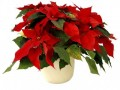 The Poinsettia - the Christmas Plant with Red Leaves