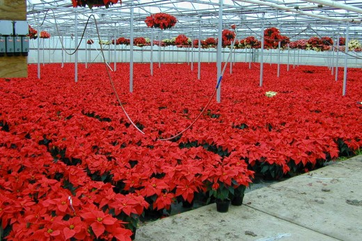 Poinsettias today are big business, growing enough for demand at Christmas
