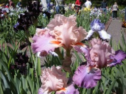 Iris flowers that have multiple colors are simply gorgeous and seem very exotic.