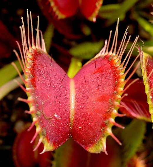 The open trap of Dionaea muscipula, note the small trigger hairs on the inside of the mouth.