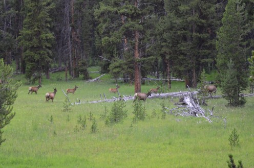 "The Native american term is Waapiti. Which translates to ""white rump.""  Such beautiful creatures, these elk are!"