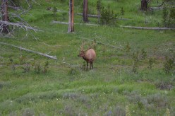 This bull elk was amazing to see as close as we did.