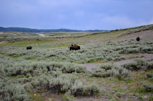 It was so amazing to see these Bison so close up!  We were simply thrilled!