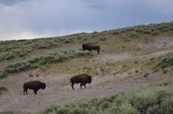 These bison were walking around, and grunting a lot!