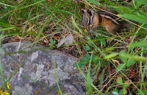 Another shot of the cute little chipmunk!  Look at the pattern on his fur.