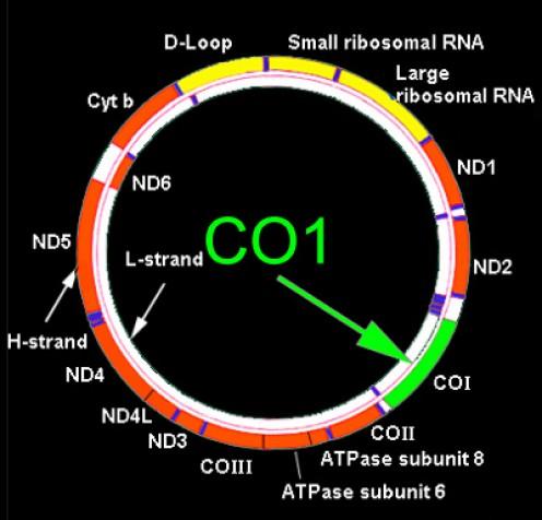 Mitochondrial genome