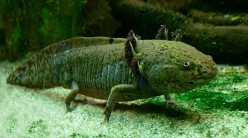 Axolotls are Peter Pan salamanders