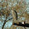Bird Photos Great Blue Heron Preening