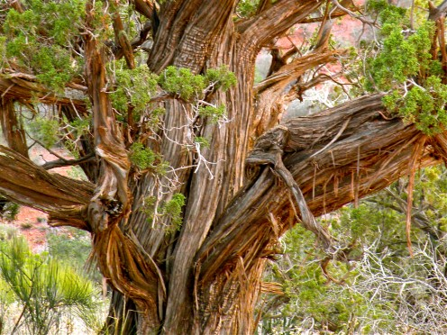 This ancient cedar tree in Sedona is weathered and twisted, but still survives.