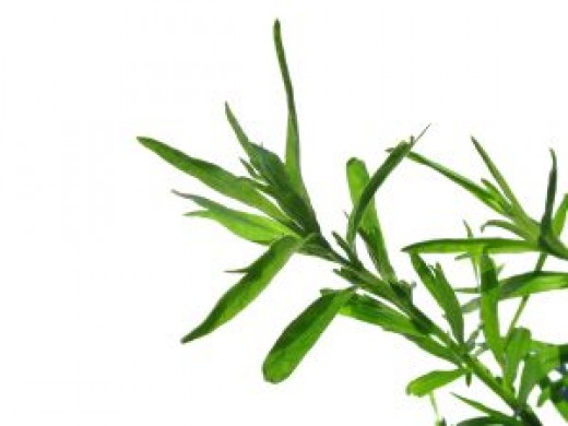 Tarragon or Estragon