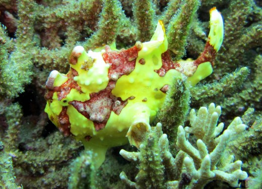 Diver's Heaven: Yellow Warty Clown Frogfish