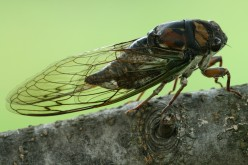 The Kindly Cicada