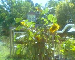Sunflowers at Indian Head Farm