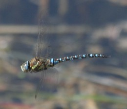 male Aeshna mixta flying