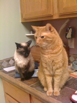 cat  or orange tabby