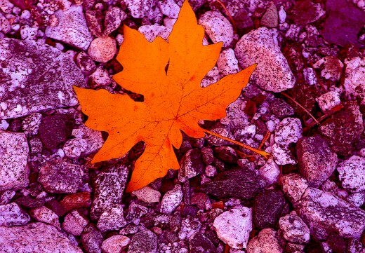 By photographing this vibrant leaf against a background of wet grey stones, I was able to acheive some interesting contrast..