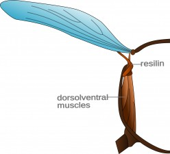 A crossection of an insects thorax showing the wings, dorsoventral muscles, and resilin.