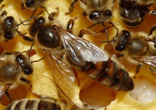 A beautiful queen bee