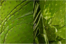 """This image shows the """"nopal"""" or prickly pear with thorns (left), and the nopal clean and ready to be eaten (right), in our quick, easy, healthy and delicious scrambled eggs with nopal recipe."""