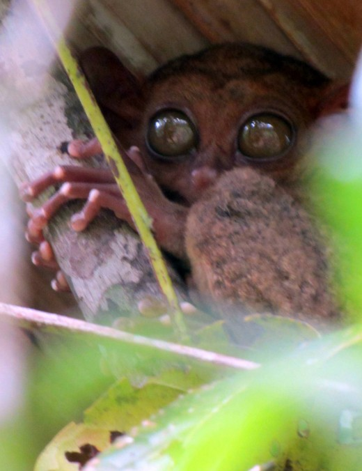 the 15 yr old Philippine Tarsier - wide awake in the afternoon