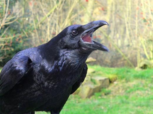 A Raven...