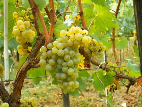 Pinot Cardonnay Grapes