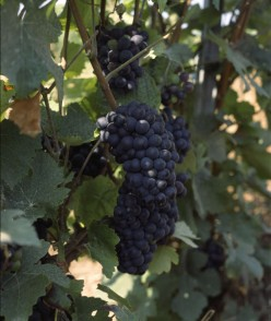 Pinot Meunier Grapes