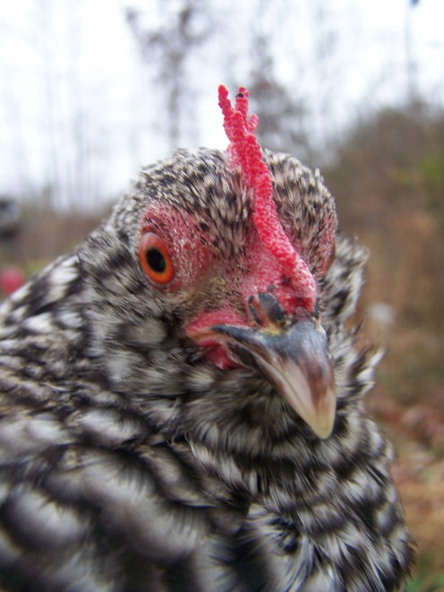 Mixed Barred Rock Bantam