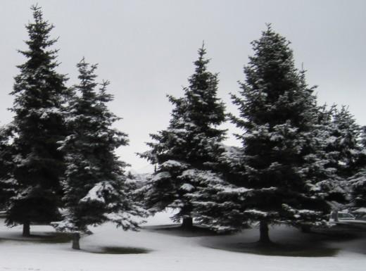 Like a frozen ballet, elegant trees dance in the wind.