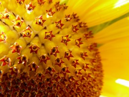 A close look at a sunflower