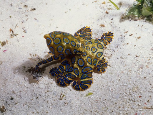 Blue ringed Octopus with dark blue ring in Mabul Island, Malaysia